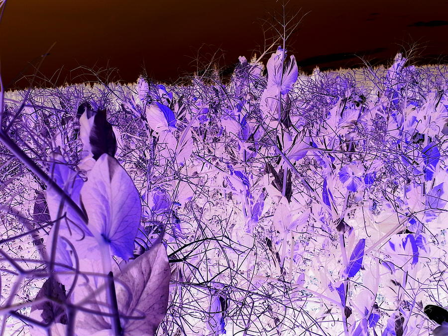 Field Of Peas In Negative Photograph by Debbi Saccomanno Chan