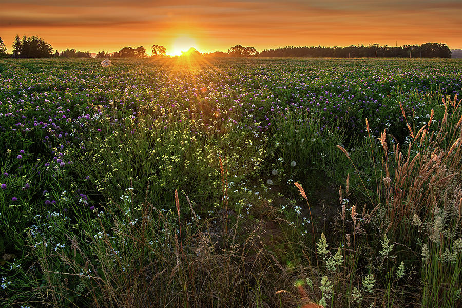 Field Of Pink Clover At Sunset Photograph by Jason Harris