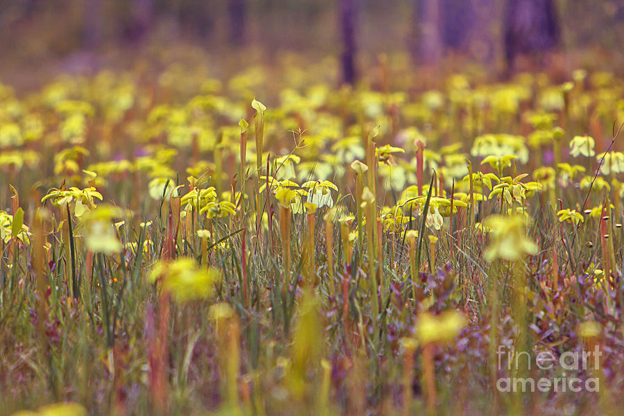 Plant Photograph - Field Of Pitcher Plants by Joan McCool