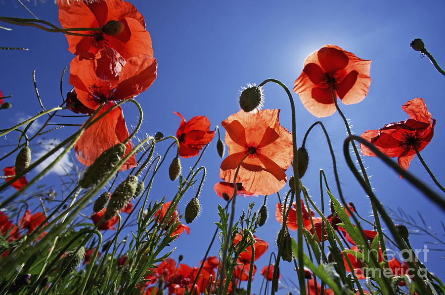 Tranquil Scene Photograph - Field Of Poppies At Spring by Sami Sarkis