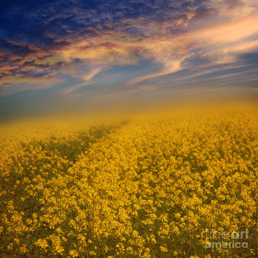 Rapeseeds Photograph - Field Of Rapeseed  by Monika Pachecka