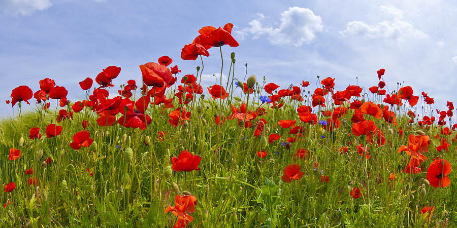 Papaver Photograph - Field Of Red Poppies by Melanie Viola