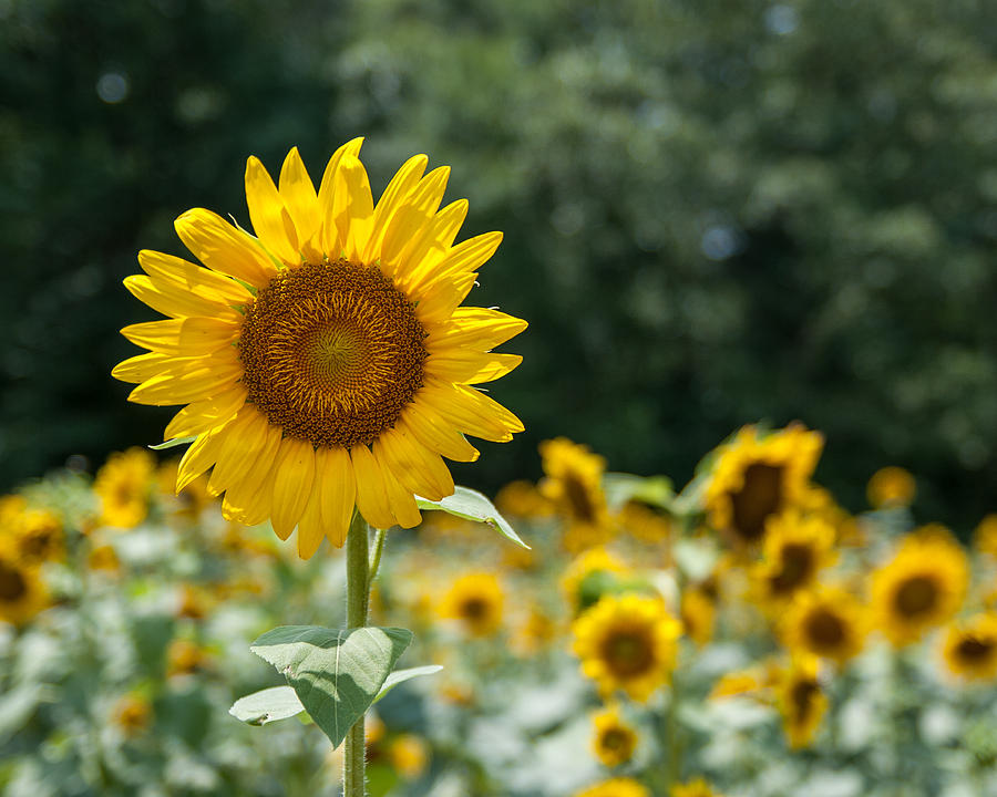 Sunflower Photograph - Field Of Sun by Brian Young