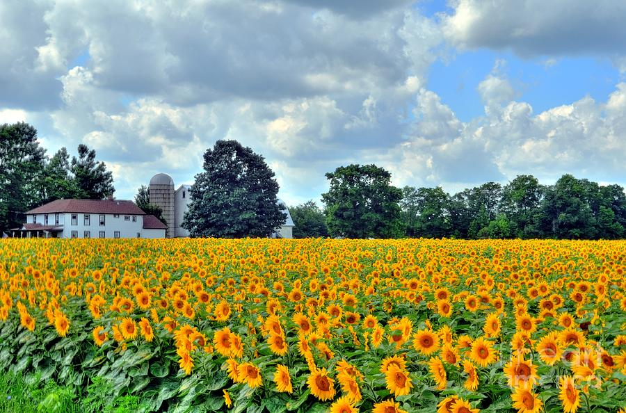 Sunflower Photograph - Field Of Sunflowers by Kathleen Struckle