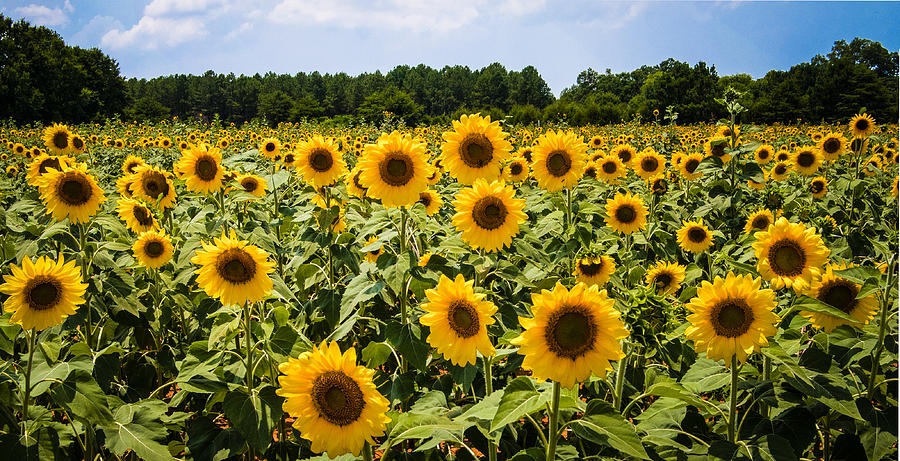 Field Of Sunflowers Photograph by Penny Lisowski