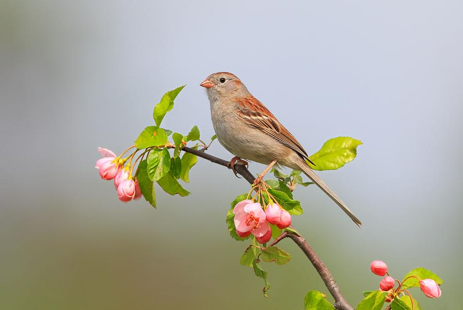 Field Sparrow Photograph - Field Sparrow On Apple Blossoms by Daniel Behm