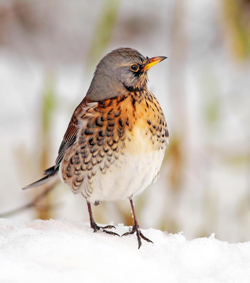 Fieldfare Photograph - Fieldfare In The Snow by Grant Glendinning