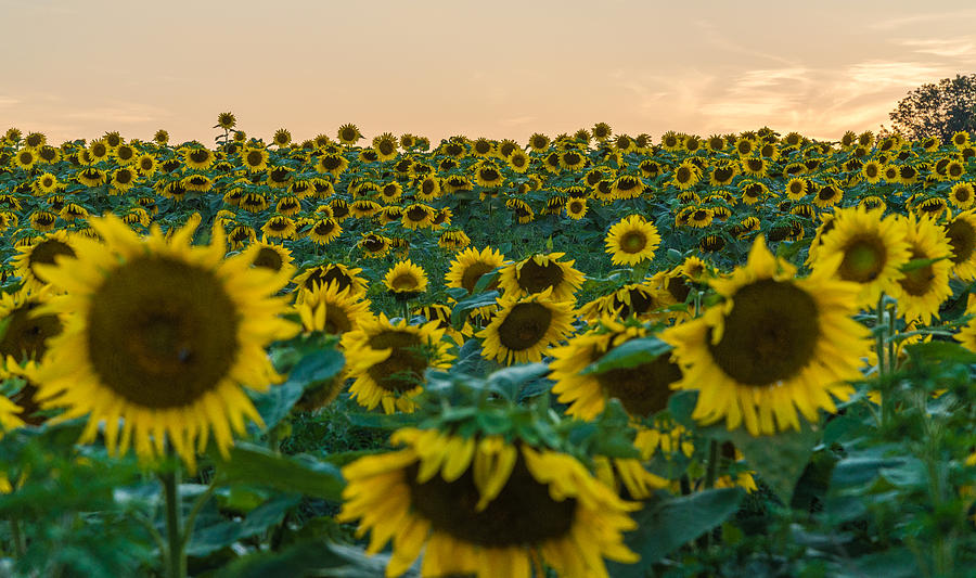 New Jersey Photograph - Fields Of Yellow  by Kristopher Schoenleber