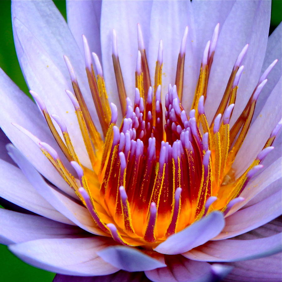 Lotus Flower Photograph - Fiery Eloquence by Karon Melillo DeVega