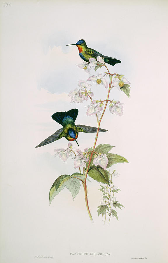 1800s Photograph - Fiery-throated Hummingbirds by Natural History Museum, London/science Photo Library