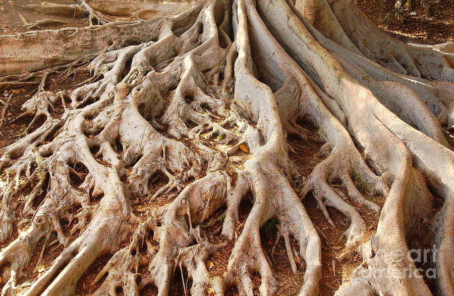 Fig Tree Roots In Balboa Park Photograph By Anna Lisa Yoder