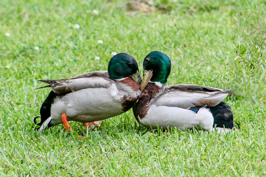 Ducks Photograph - Fight by Hannah Miller