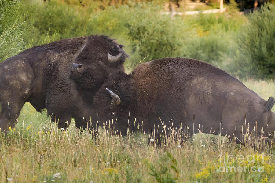 Adult Photograph - Fighting Bison by Mike Cavaroc