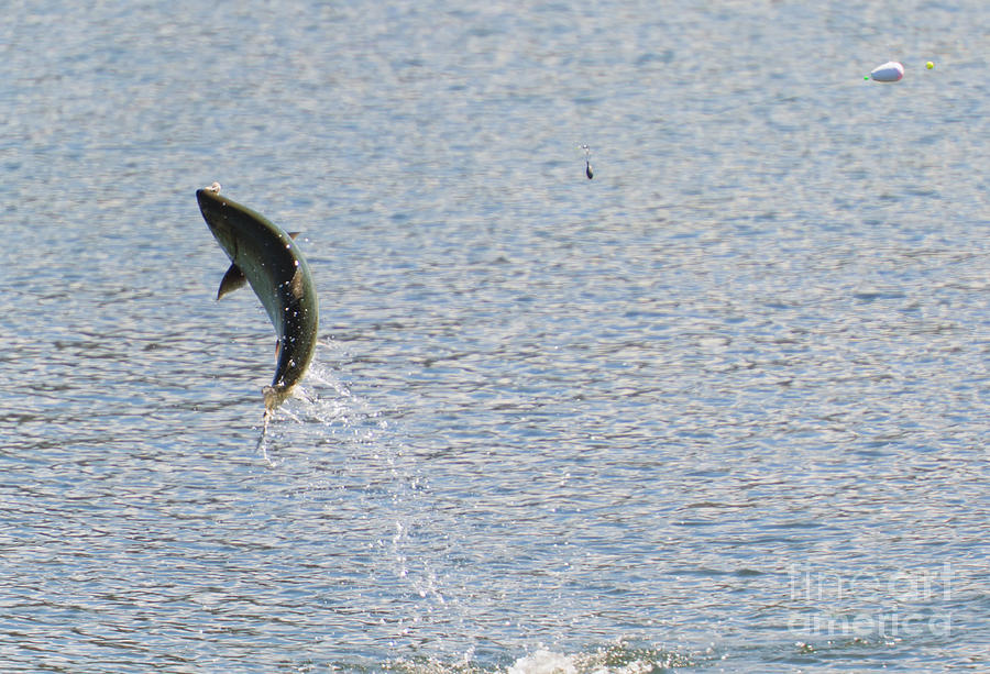 Chinook Salmon Photograph - Fighting Chinook Salmon by Mike  Dawson