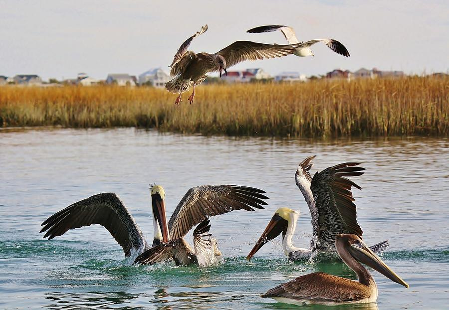 Pelican Photograph - Fighting For A Fish Dinner by Paulette Thomas