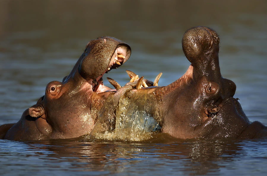 Thick Photograph - Fighting Hippos by Johan Swanepoel