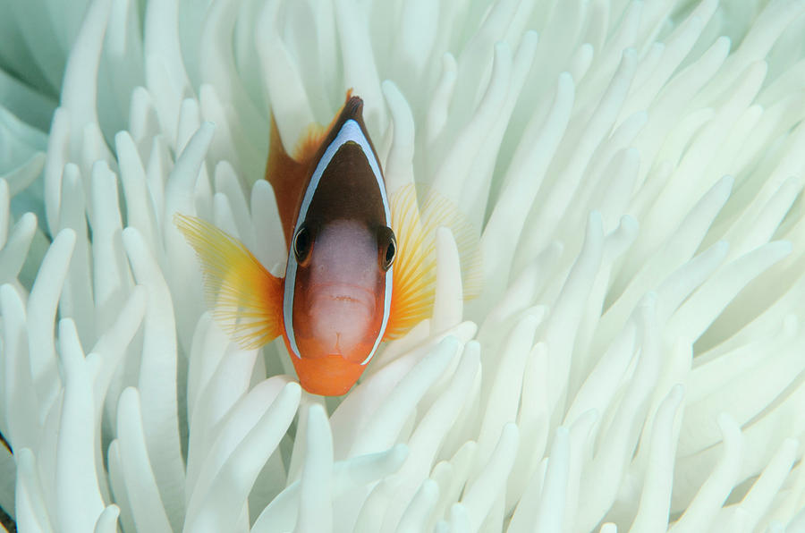 Amphiprion Barberi Photograph - Fiji Anemone Fish (amphiprion Barberi by Pete Oxford