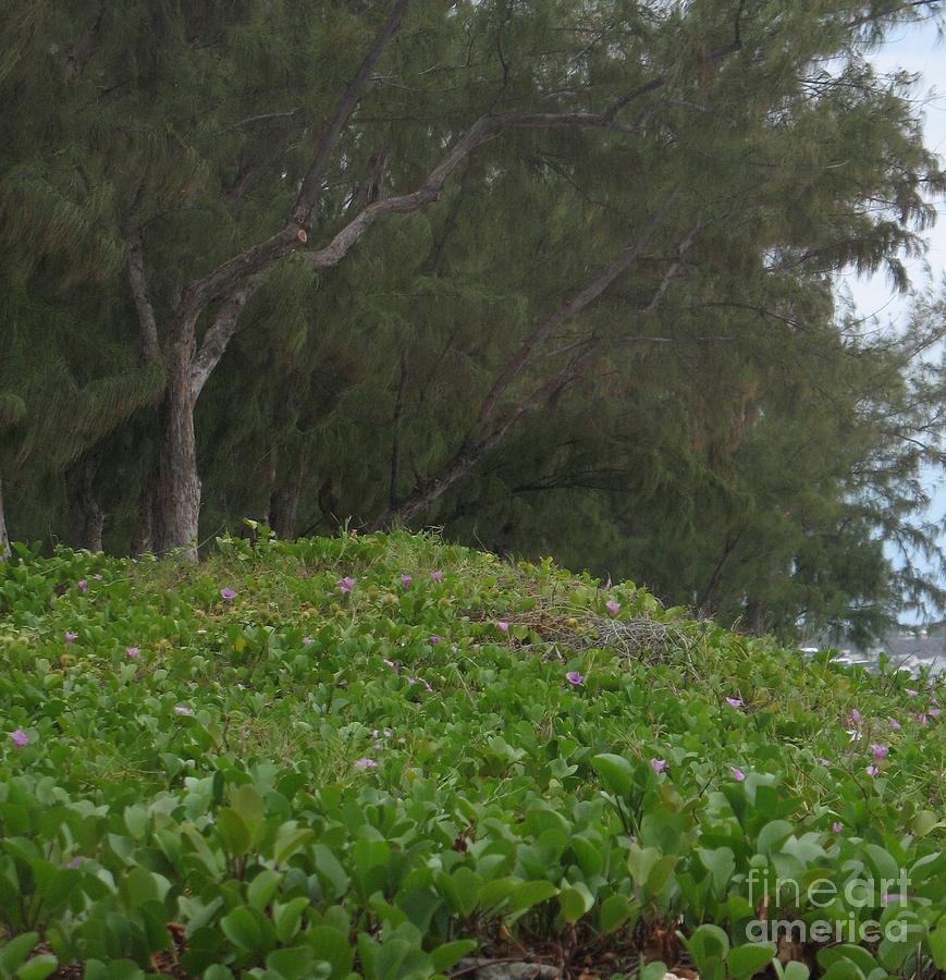 Filaos - Ile De La Reunion - Reunion Island Photograph by Francoise Leandre