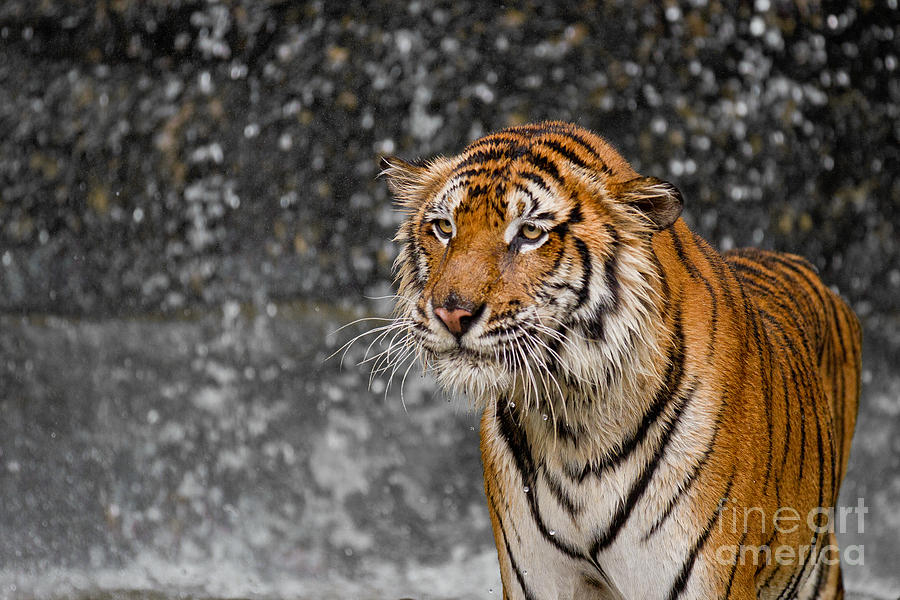 Indochinese Tiger Photograph - Final Drops by Ashley Vincent