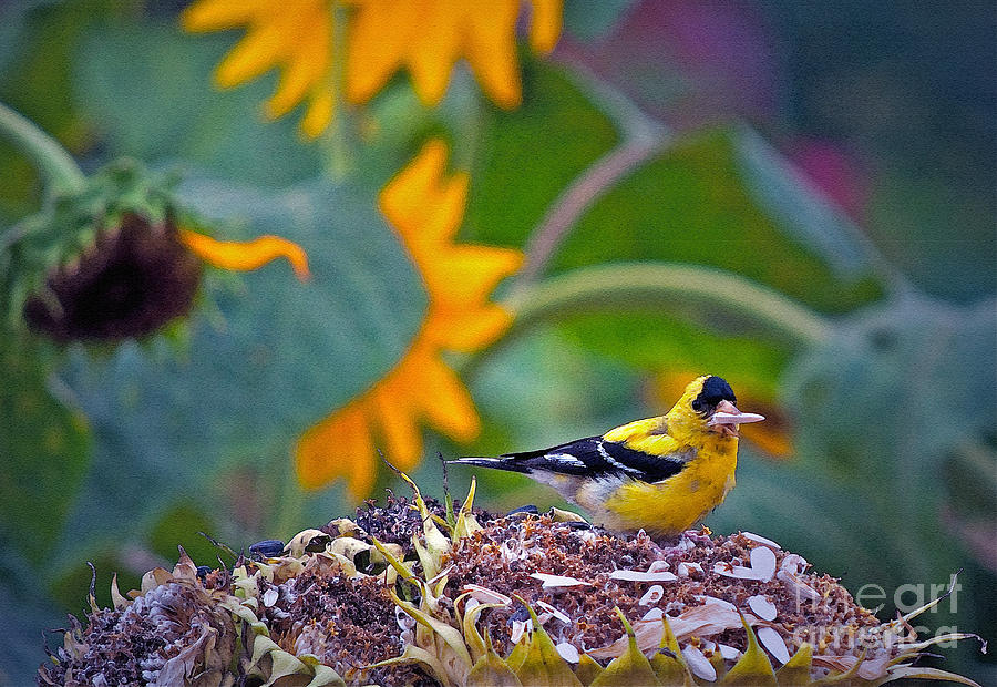 Sunflower Photograph - Finch Feast by Gwyn Newcombe