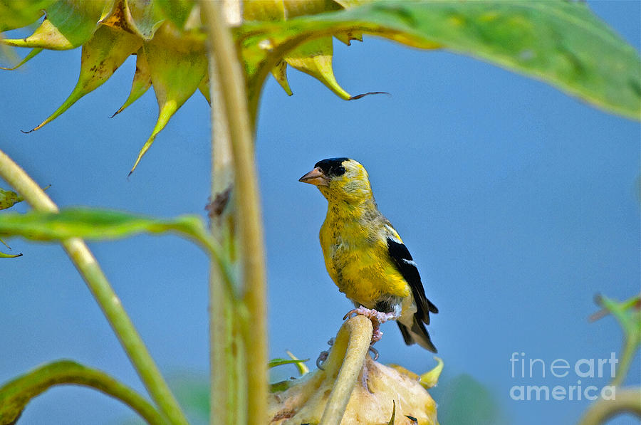 Sunflower Photograph - Finch Finale by Gwyn Newcombe