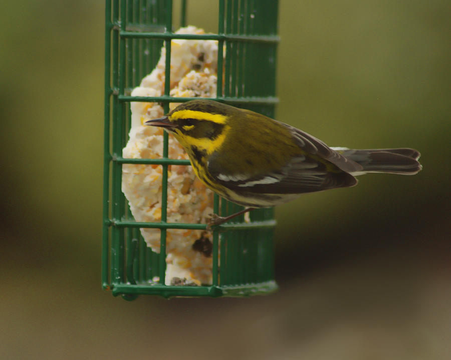 Bird Photograph - Finch On A Suet by Ron Roberts
