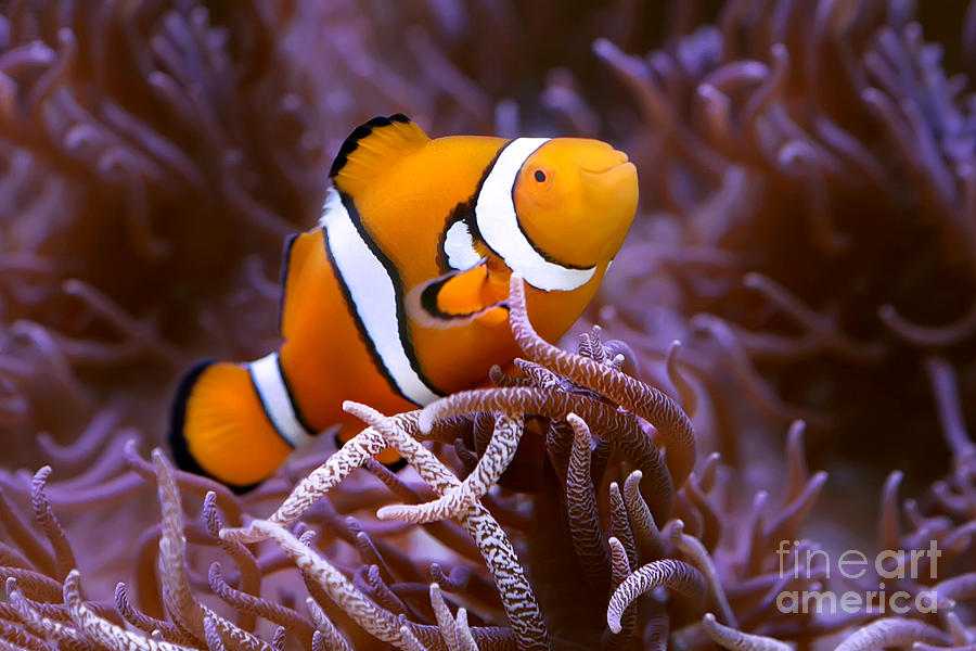 Great Barrier Reef Photograph - Finding Nemo by Shannon Rogers