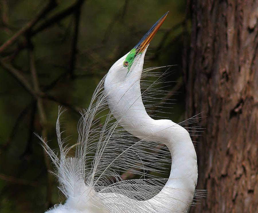 Great White Egret Photograph - Fine Feathers by Paulette Thomas