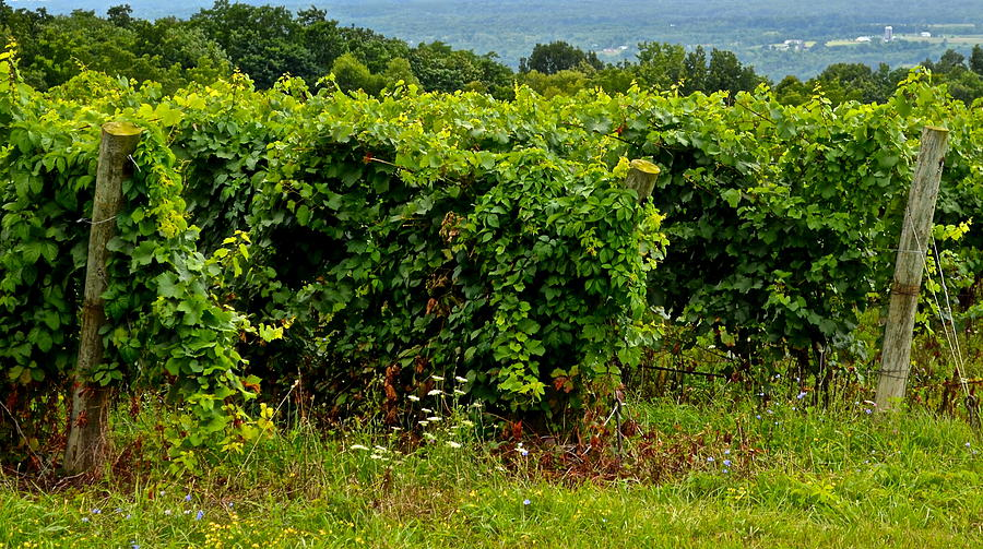 Vineyard Photograph - Finger Lakes Vineyard by Frozen in Time Fine Art Photography