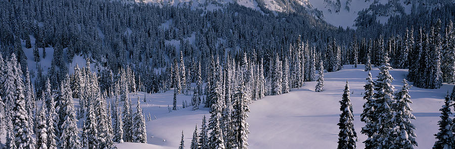 Color Image Photograph - Fir Trees, Mount Rainier National Park by Panoramic Images