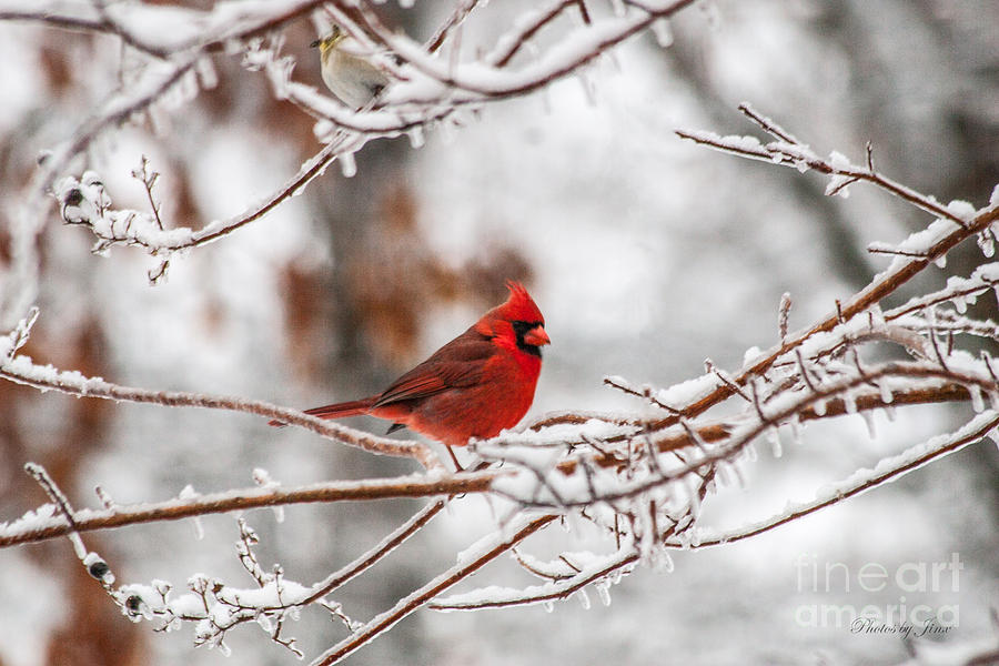 Red Bird Photograph - Fire And Ice by Jinx Farmer