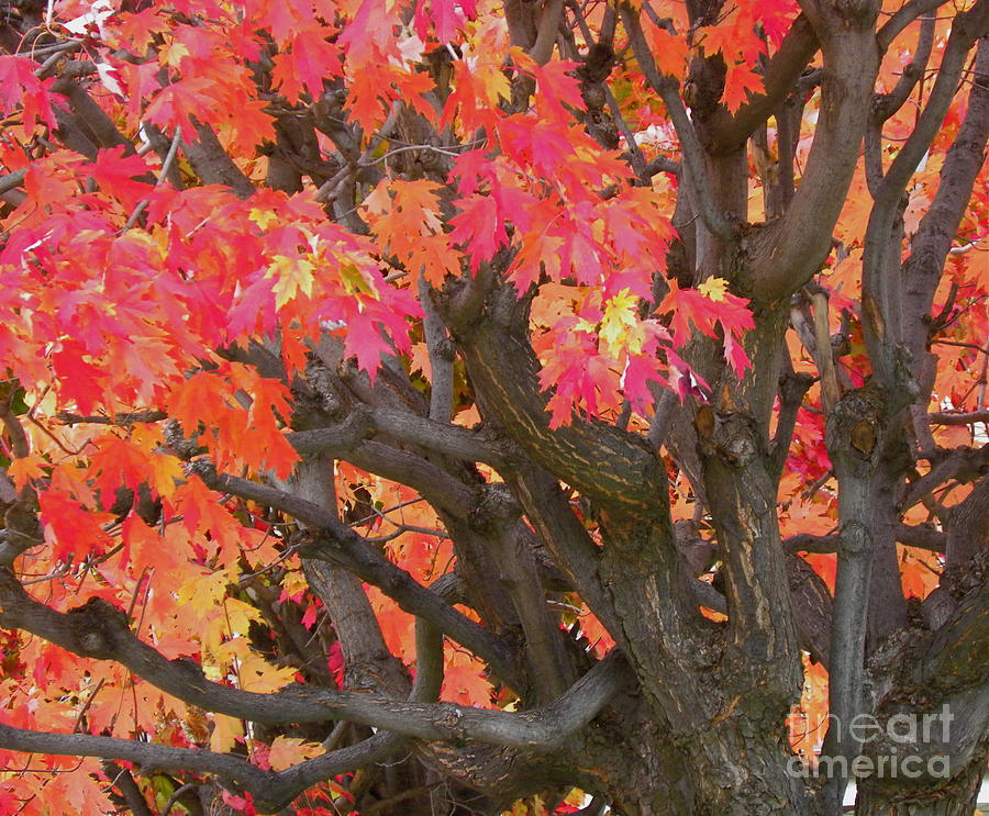 Maple Tree Photograph - Fire Maple by Laura Yamada