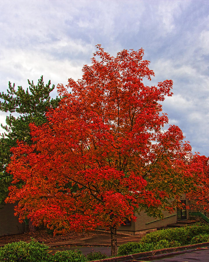 Fire Tree IMG_1443 Photograph by Torrey E Smith