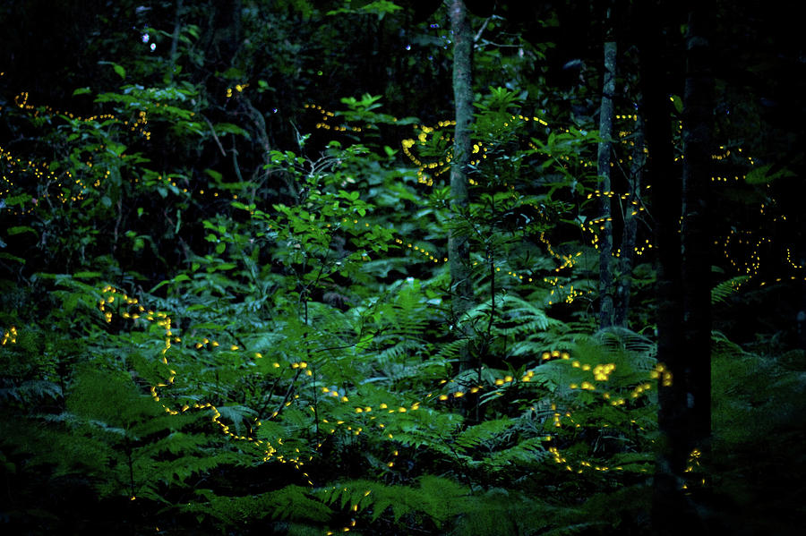 Fireflies In Japan Photograph by Elodie Giuge