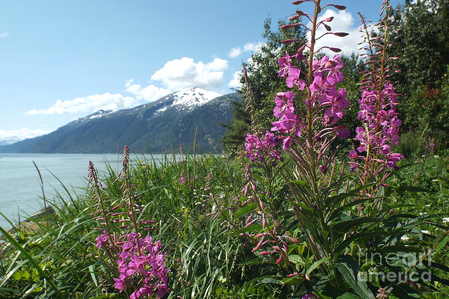 Fireweed Photograph - Fireweed at Yakutania Point by Barbara Von Pagel