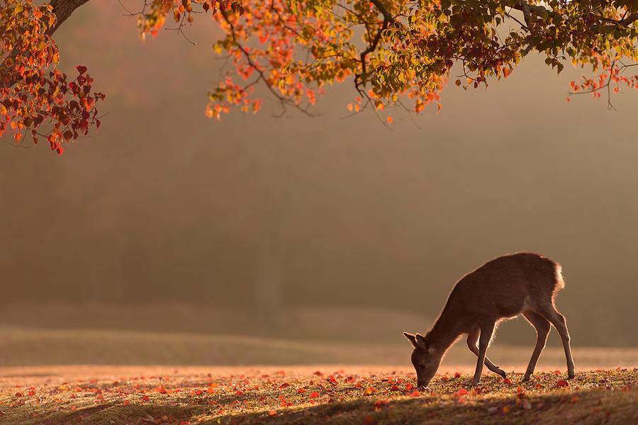 Deer Photograph - First Autumn by Yoshinori Matsui