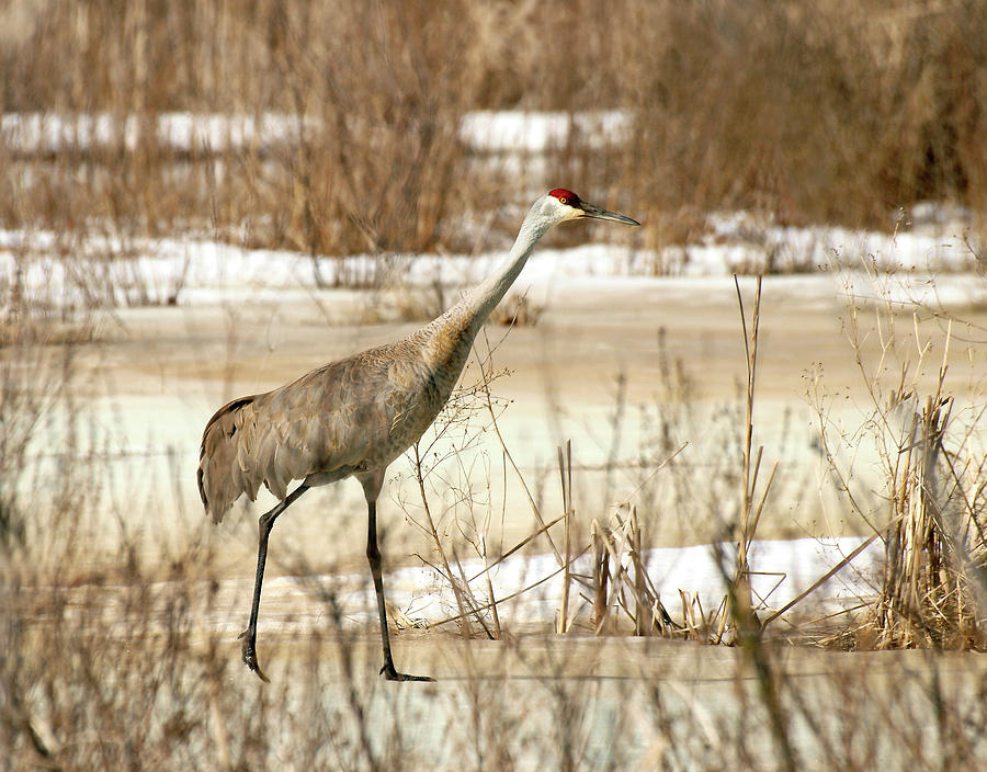 Sandhill Crane Photograph - First Crane by Thomas Young