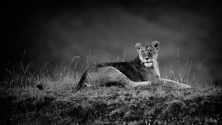 Lion Photograph - First Lady by Mohammed Alnaser