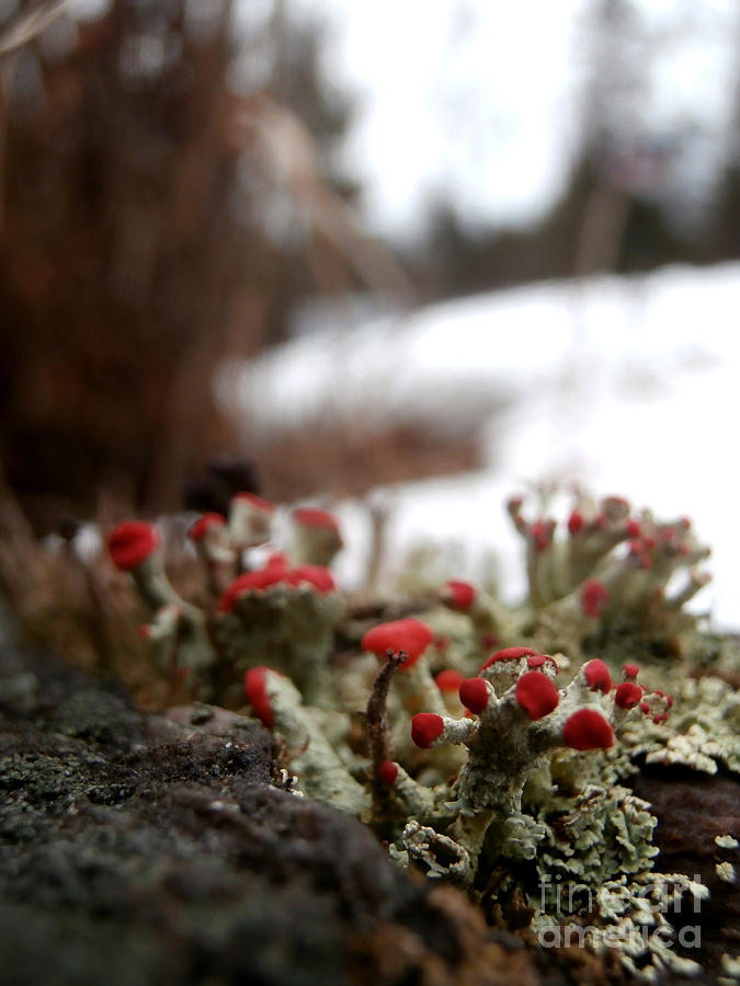 Macro Photography Photograph - First Lichen Blossom Of The Year by Steven Valkenberg