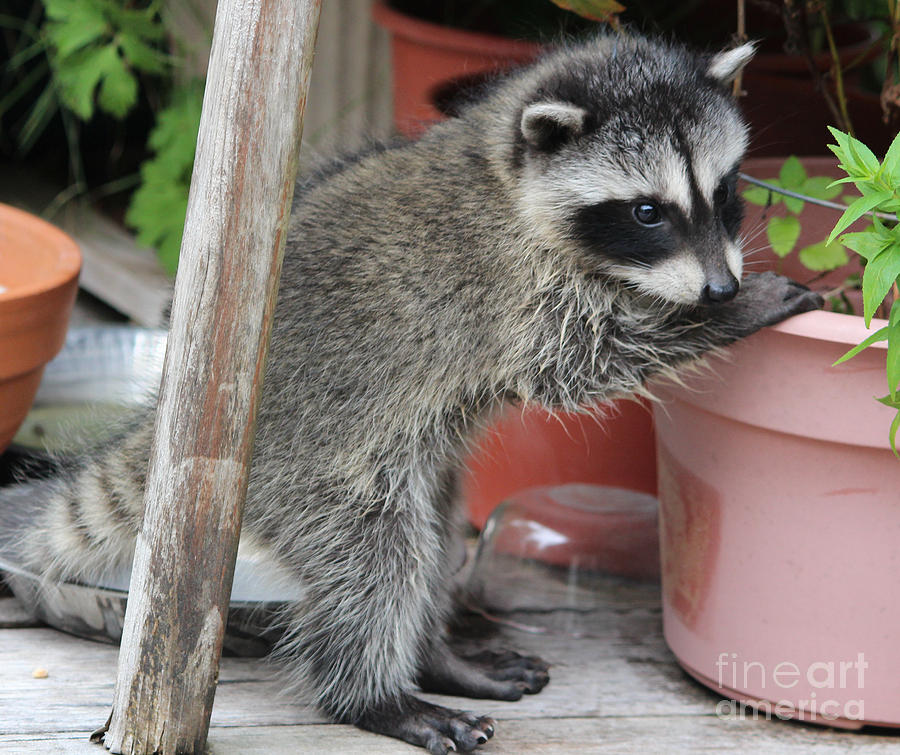 Animals Photograph - First Look At Baby Coonie by Kym Backland