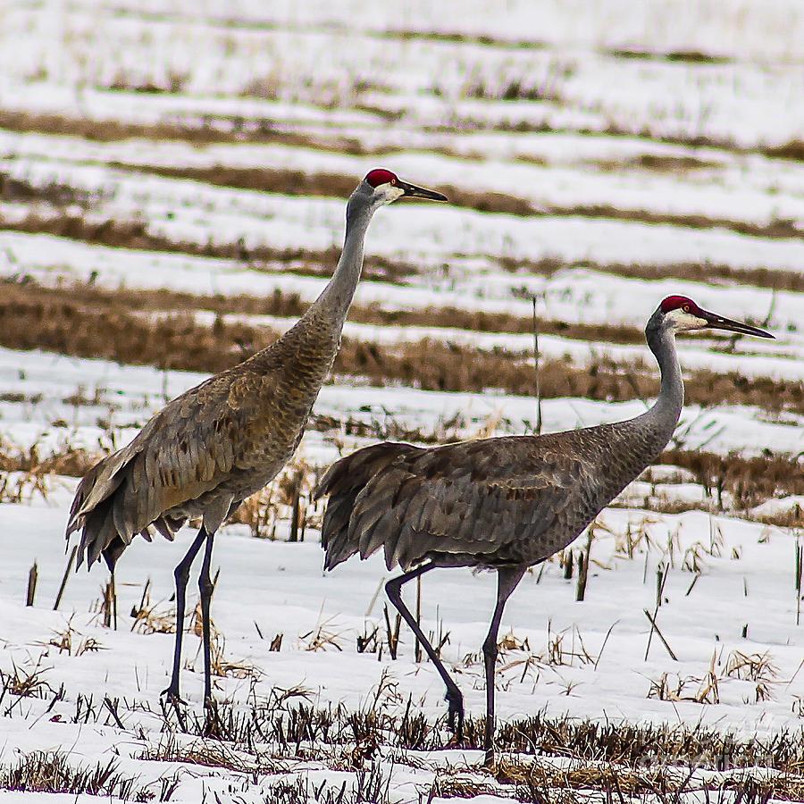 Sandhill Cranes Photograph - First Sandhill Cranes by Nikki Vig