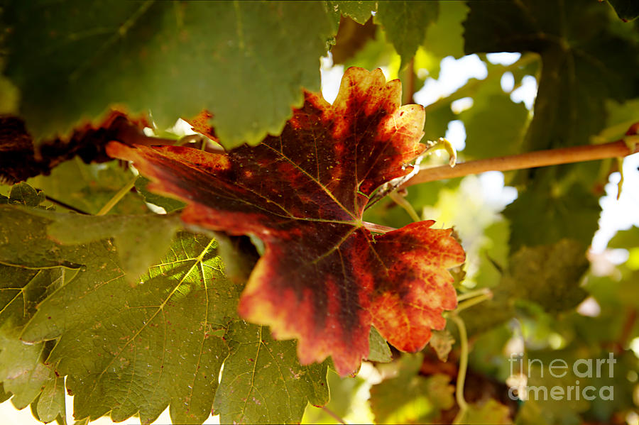 Grapevine Photograph - First Signs Of Autumn by Dry Leaf