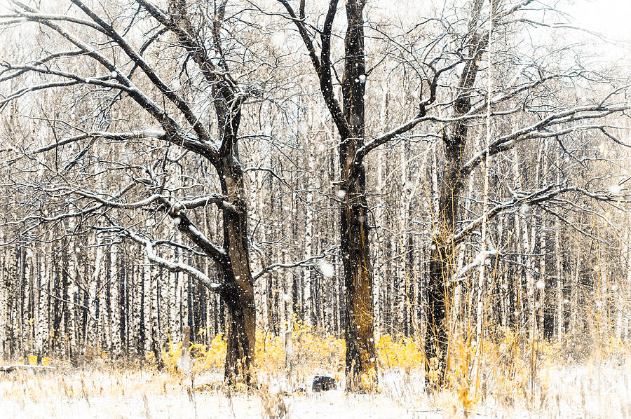 Snow Photograph - First Snow. Tree Brothers by Jenny Rainbow