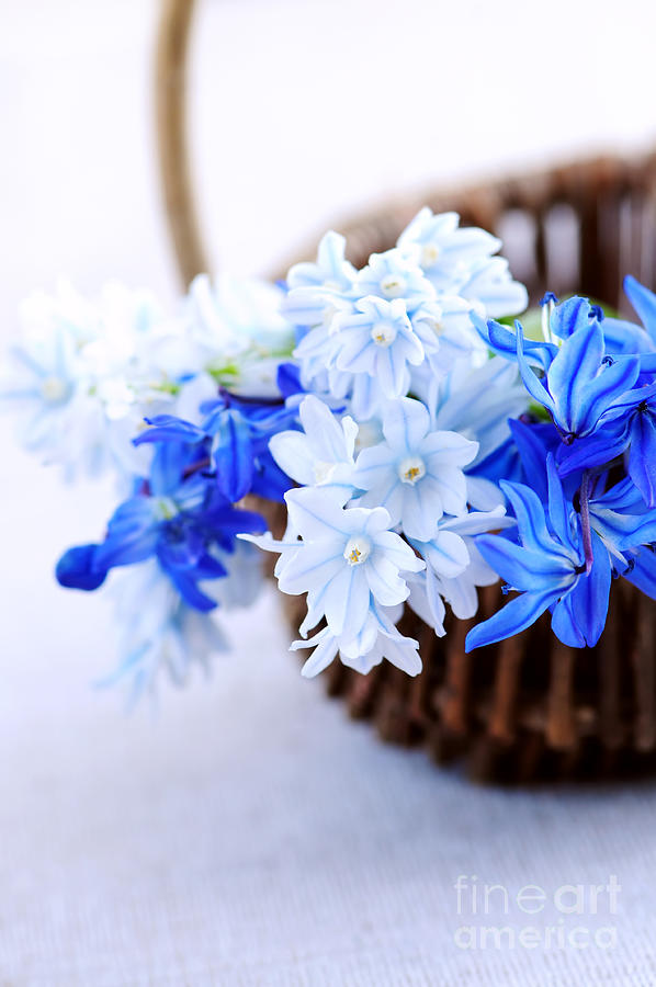 Flower Photograph - First Spring Flowers by Elena Elisseeva