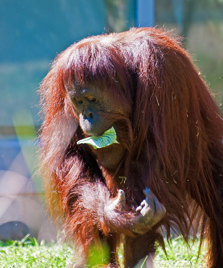 Orangutan Photograph - First Things First by Donna Proctor