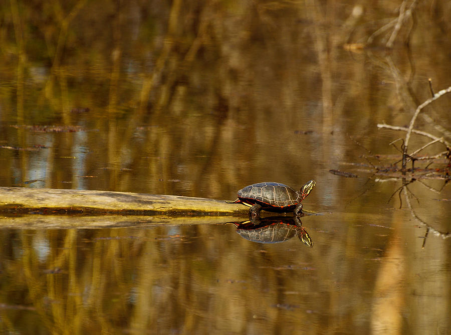 Painted Turtle Photograph - First Turtle by Thomas Young