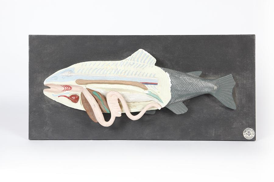 Fish Anatomy, Historical Model Photograph by Science Photo Library