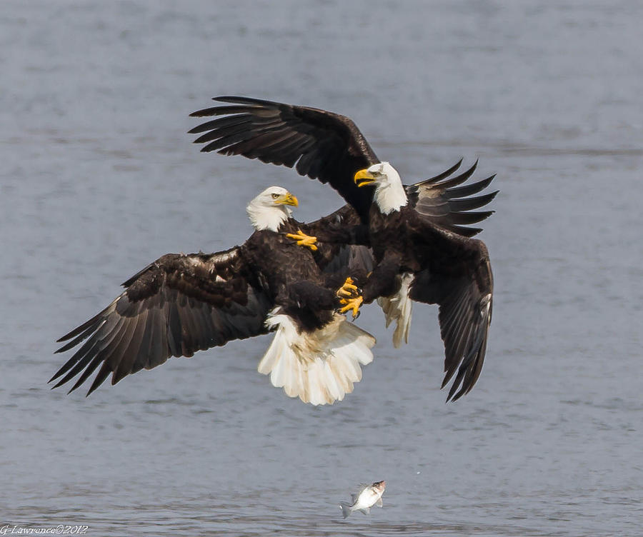 American Bald Eagles Photograph - Fish Fight  by Glenn Lawrence