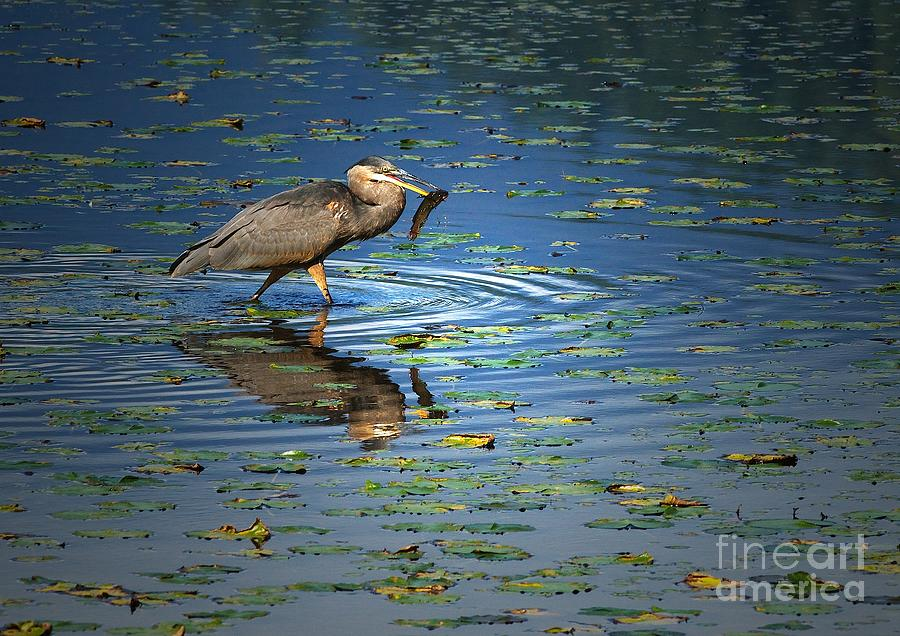 Great Blue Heron Photograph - Fish For Dinner by Sharon Talson