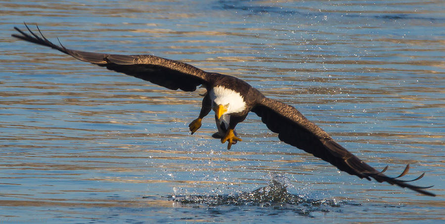 American Bald Eagles Photograph - Fish On The Go  by Glenn Lawrence